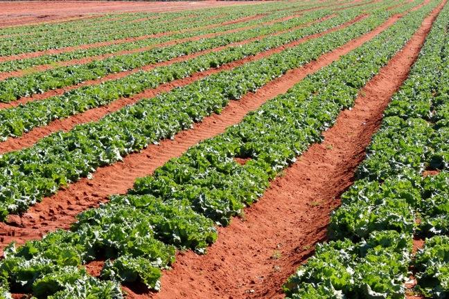 Cabbage Field, Patria Farms 2014.